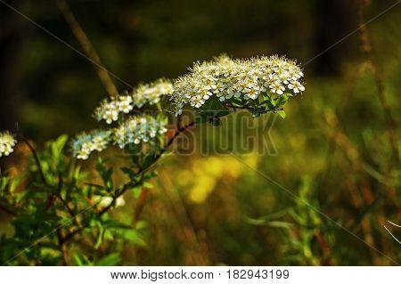 Flowering branch of white spirea close up blooming on a summer morning. Цветущая ветка спиреи. Спирею называют венком невесты за изящность и красивые белые цветы