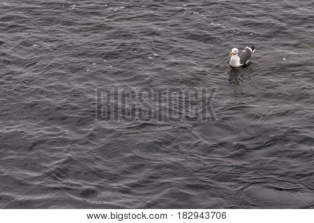 Western Gull (Larus occidentalis) Seagull Sea Gull Swimming in the Pacific Ocean in Monterey, California,USA