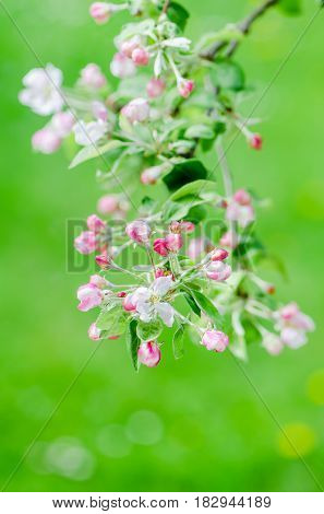 branch of blossoming Apple trees in springtime green background