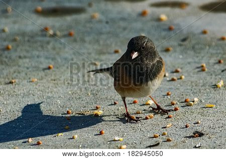 One Dark-eyed Junco searching for food in the snow.
