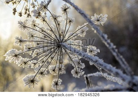 Frozen flower covered with frosty rime. Winter floral background plants in snow. A detailed image of a frozen plant.