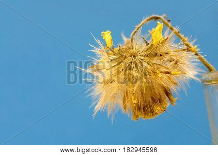 Dry Yellow Fleabane flower and seeds on blue sky background