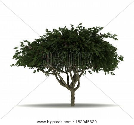 Single Staghorn Sumac Tree (isolated on white)  3D Rendering