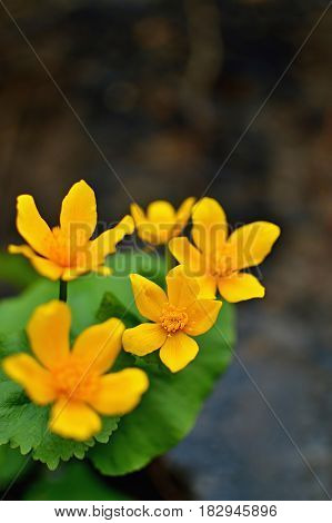 Beautiful spring marsh marigold flowers with yellow petals. Spring blooming plants. Forest flower