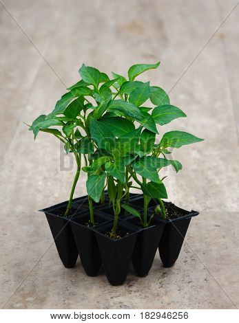 little sprout of pepper in pots for garden or greenhous