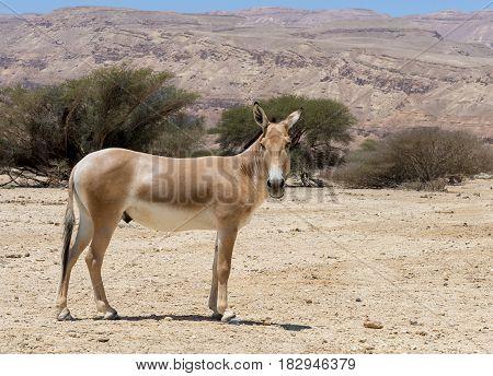 Onager (Equus hemionus) is a brown Asian wild donkey inhabiting nature reserve park near Eilat, Israel