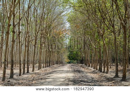 Rubber Tree Forest At Sunny Day
