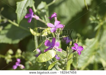 detail of lunaria's flower in a maedow