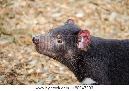 Tasmanian devil close up. Endangered animal. Australia