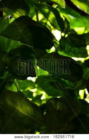 fresh basil low key green healthy food