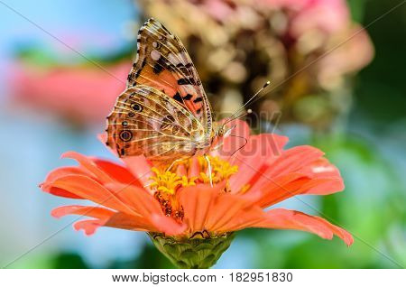 Beautiful motley butterfly collects nectar on a bud of orange flower