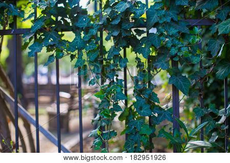 Spring concept with ivy plant covering wall