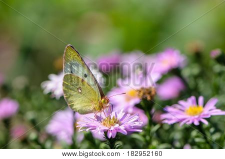 Beautiful yellow butterfly collects nectar on a bud of Astra Verghinas
