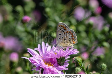 Butterfly of aricia agestis collects nectar on a bud of Astra Verghinas