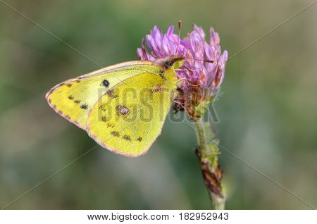 Beautiful yellow butterfly collects nectar on a bud of a meadow flower