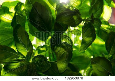 fresh basil low key green and fresh