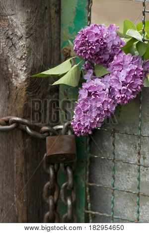Bush lilac fence chain lock rust grille old