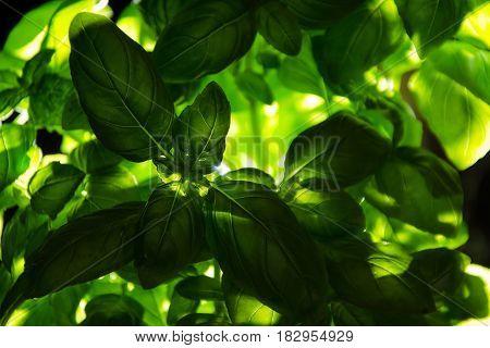 fresh basil low key fresh green basil leaves