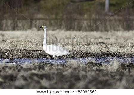 Single Whooper Swan in Water in Field.