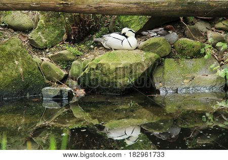 white smew male sleeping on the stone on the bank of a lake, reflecting on the water surface