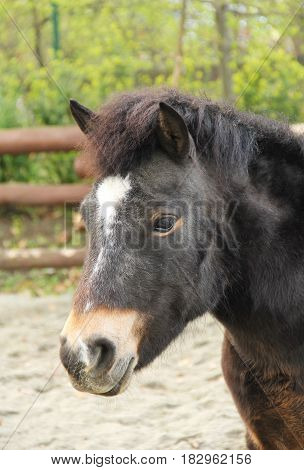 portrait of nice dark brown pony horse
