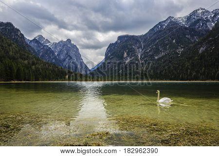 Spring view at Lago Dobbiaco, Dolomites, Lake mountain landcape with Alps peak reflection and swan, Toblach, Italy