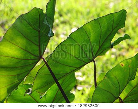 Elephant Ears Taro Colocasia Esculenta Leaves Background, Selective Focus