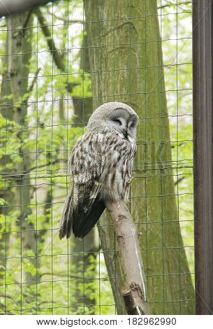 great gray owl (Strix nebulosa) in the aviary in ZOO