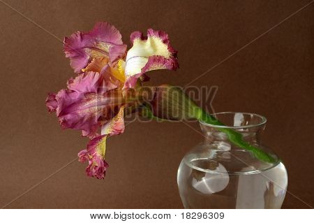 Pink and yellow iris against brown bacground