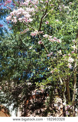 travel to Italy - pink flowers on Magnolia tree in Vicenza city in spring