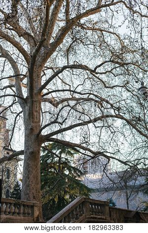 Sycamore Tree On Embankment In Verona City
