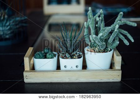 Three cactus on ceramic pot and the wood plate