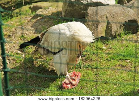 Egyptian vulture (Neophron percnopterus) in the aviary eating piece of meat