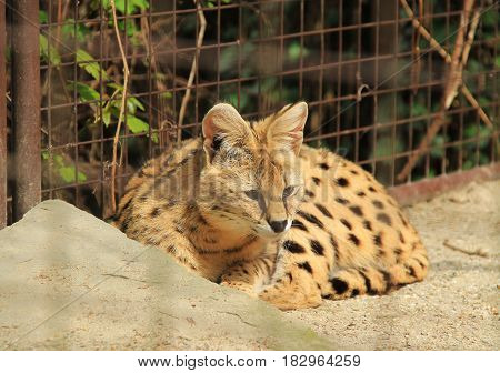 fluffy serval having rest behind the blurred bars of a cage