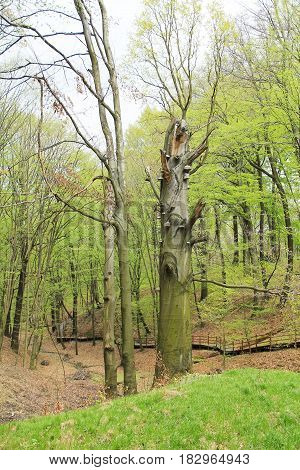 big old beech trees in early spring