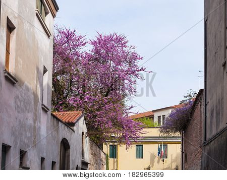 Blossoming Judas Tree In Padua City In Spring