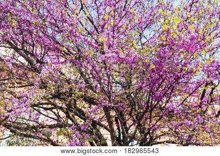 Pink Blossoming Of Cercis Siliquastrum In Verona