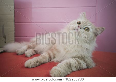 Persian adorable cat, close-up funny fluffy face, in sepia tone color and pink background