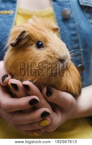 Cute Red Guinea pig on the female hands. Close up.