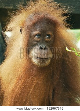 A young orangutan in the jungles of northern Sumatra