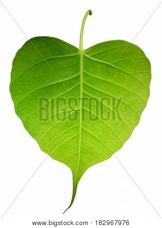 Green bothi leaf (Pho leaf bo leaf) isolated on white background.
