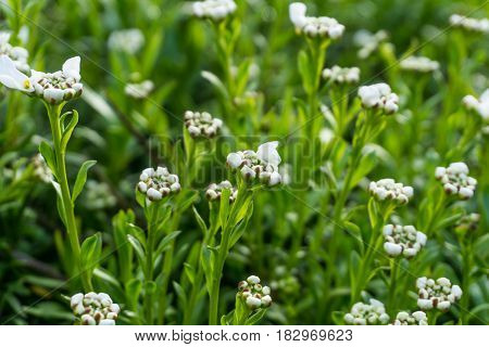 Flowers with white flowers and green leaves at sunshine
