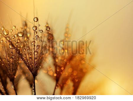 Dew drops on a dandelion seeds at sunrise close up.