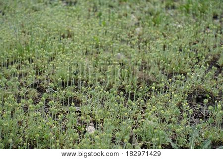 Land covered with curveseed butterwort plants with buds
