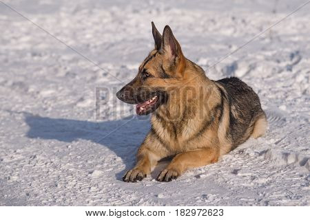 Alsatian dog on the frozen lakeA brown German shepherd sitting on the ground. A guard dog, a police dog. Winter
