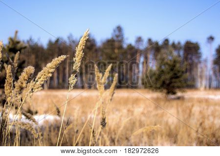 many dry meadow flowers in winter field. Nature background. Snowy field and plants. Plants are frozen and covered with. hoarfrost. Grass in snow in a field. Winter dry grass in landscape the snow field snow nature