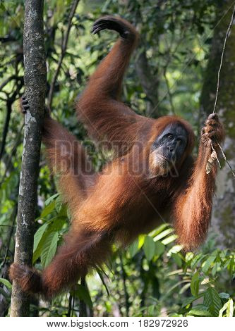 Young female orangutan in the jungle of northern Sumatra