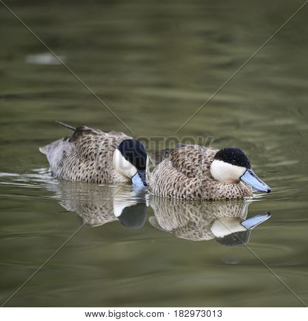 Beautiful Portrait Of Puna Teal Anas Puna Duck Bird On Water In Spring