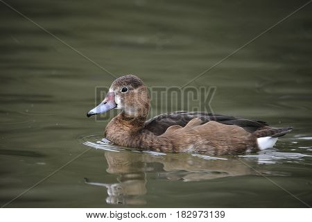 Beautiful Portrait Of Rosy-billed Pochard Duck Bird Netta Peposaca On Water In Spring
