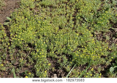 Lots of small Ceratocephala testiculata plants with yellow flowers